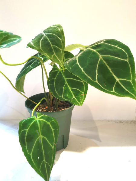 Anthurium crystallinum A