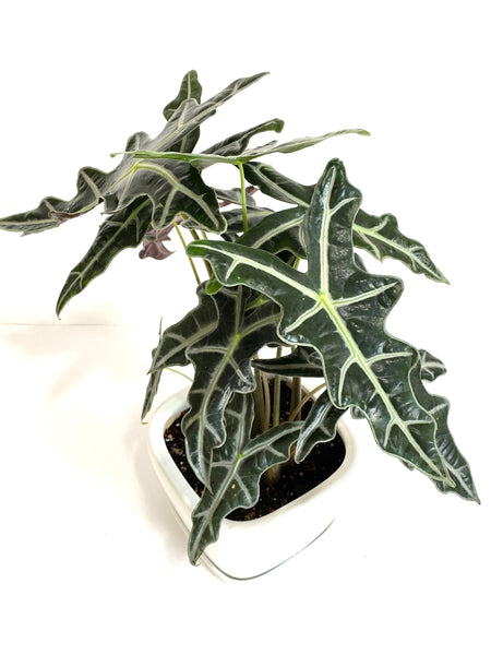 Alocasia Sanderiana 'Nobilis' - Mother's Day Promo