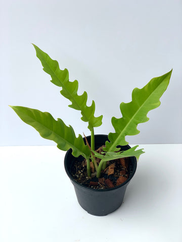 Philodendron Golden Saw (R1)
