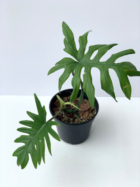 Philodendron mayoi (M1)