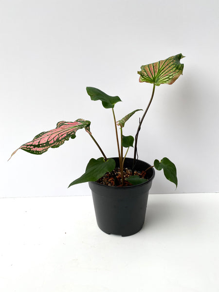 Caladium Thai Beauty (T2)