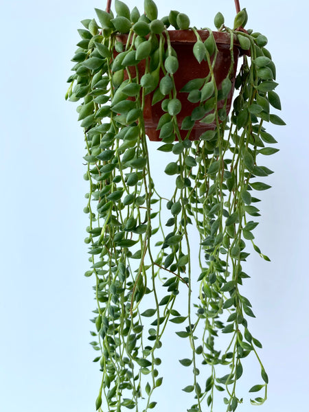Senecio herreianus (String of Tears or String of Beads)