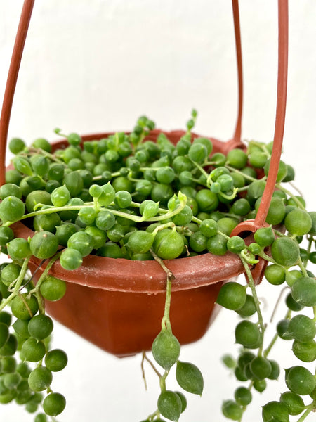 Curio rowleyanus (String of Pearls)