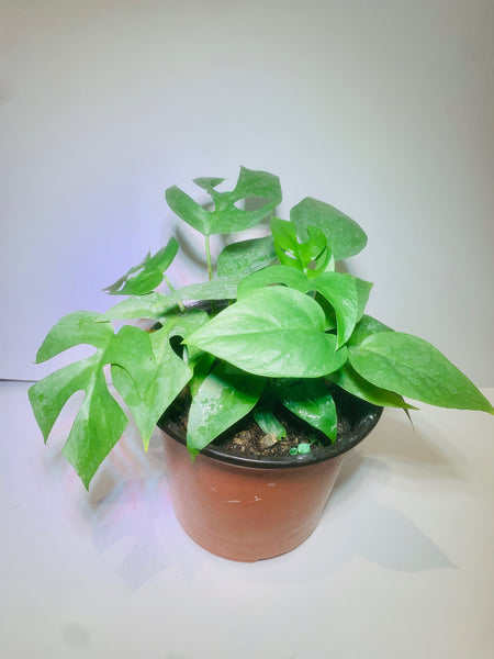 Rhaphidophora tetrasperma (Mini Monstera)