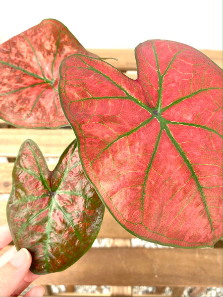 Caladium Red with Green Veins