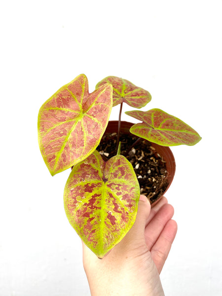 Caladium Blush with Lime Green Veins