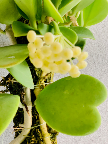Hoya kerrii & H. pachyclada on Drift wood