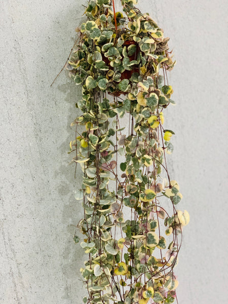 Cerepegia wood variegate (String of Hearts variegated - 1 metre)
