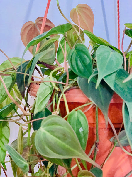 Philodendron micans (1 metre)