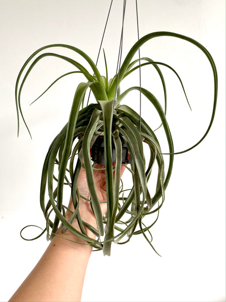 Tillandsia streptophylla (Large)