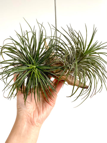 Tillandsia streptophylla Pair on Driftwood
