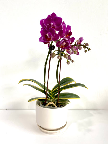 Phalaenopsis (Miniature, Variegated Leaves)