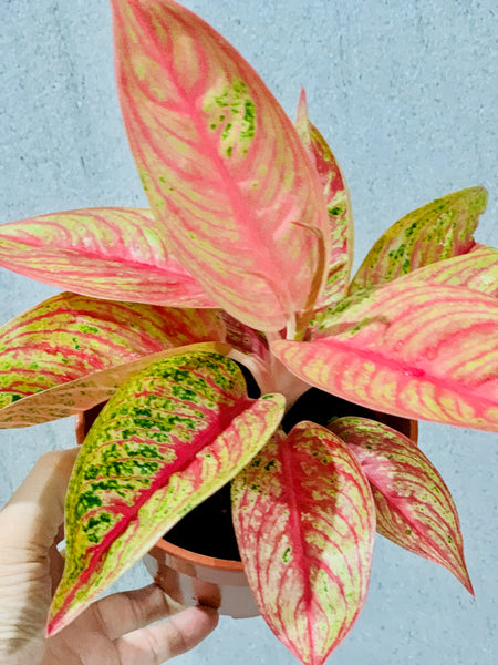 Algaonema Fancy Pink