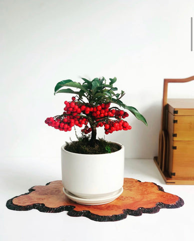 Chinese New Year Ardisia in White Pot (Attached Tray)