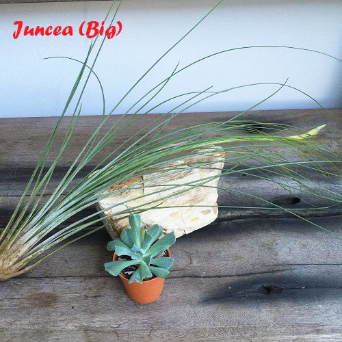 Value Air Plants Combo 2 Pack - Big Funky !