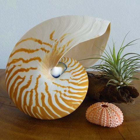 Chambered Tiger Nautilus