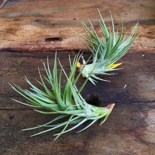 Tillandsia Araujei 'Purple Star'