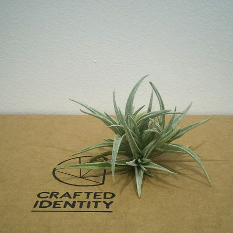 Tillandsia Harrisii Clump