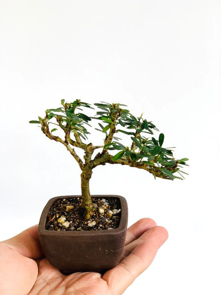 "Mame ""Lin Shan"" Bonsai in Vintage ""Iron Clay"" Pot"