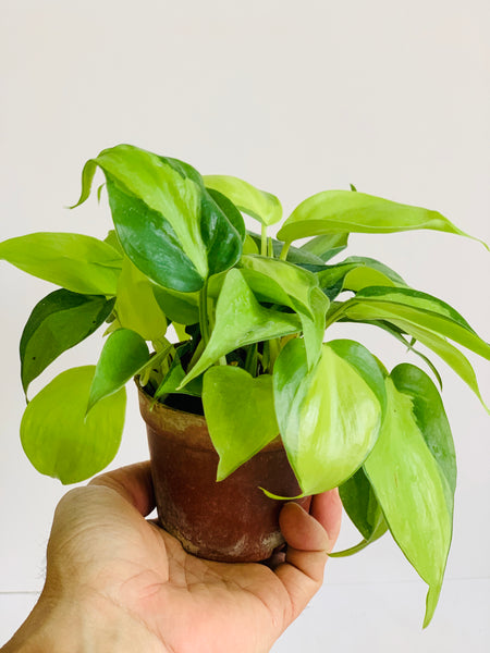 Philodendron scandens 'Brazil' - Sweetheart Plant