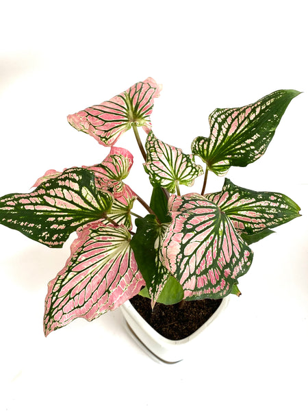 Caladium 'Thai Beauty' - Mother's Day Promo