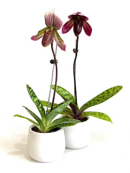 Paphiopedilum Slipper Orchid - Mother's Day Promo
