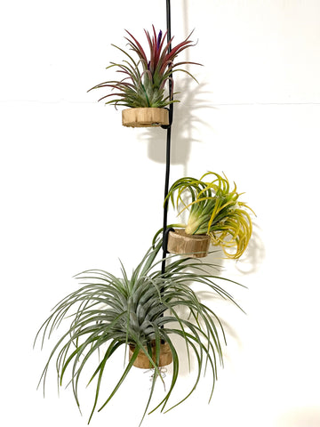 3-tiered Air Plant