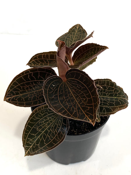 Jewel Orchid sp.