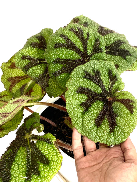 Begonia Iron Cross