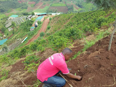 common man coffee roasters trees for kibira long miles coffee project