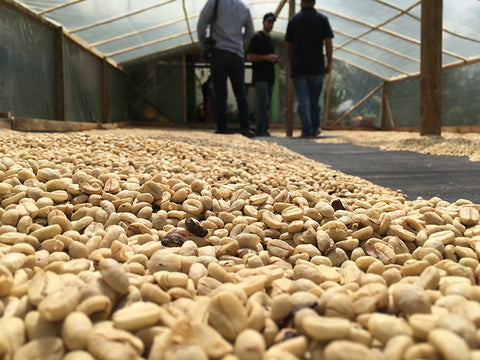 Common Man Coffee Roasters Colombia Beans Drying