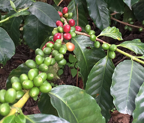Common Man Coffee Roasters Colombia Post Harvest Beans