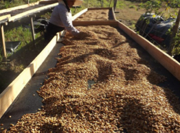 drying coffee