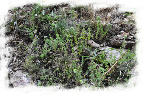 "Wild Oregano blossoms between rocks on 5500 feet on Taygetus   ""TheSpartanTable"""