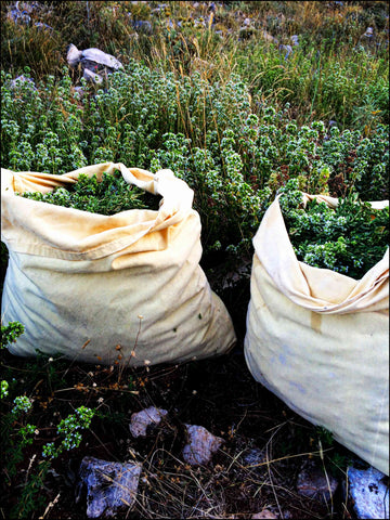 Our linen bags with fresh wild oregano