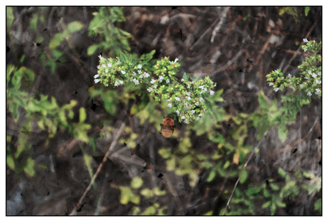 Wild Oregano blossoming on Taygetus Mountain August 2015 TheSpartanTable