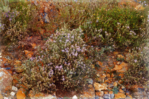 Wild Thyme on Mountain Taygetus thespartantable
