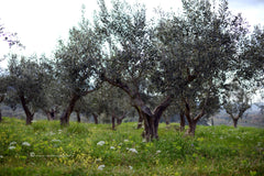Kalamata Olive Trees in our groves thespartantable