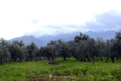 Our Family olive groves with snowy Mountain Taygetus, thespartantable