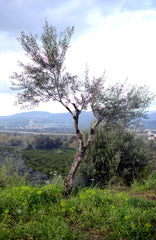 olive tree in our groves, thespartantable, Organic Kalamata Olives and EVOO