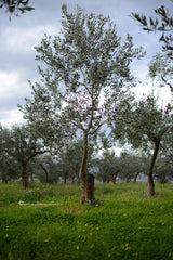Kalamata Olive Tree in our groves, thespartantable