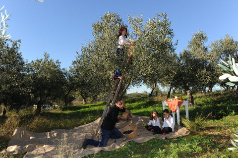 Adopt an Olive Tree in Greece and get Your First Olive Oil from Your Tree