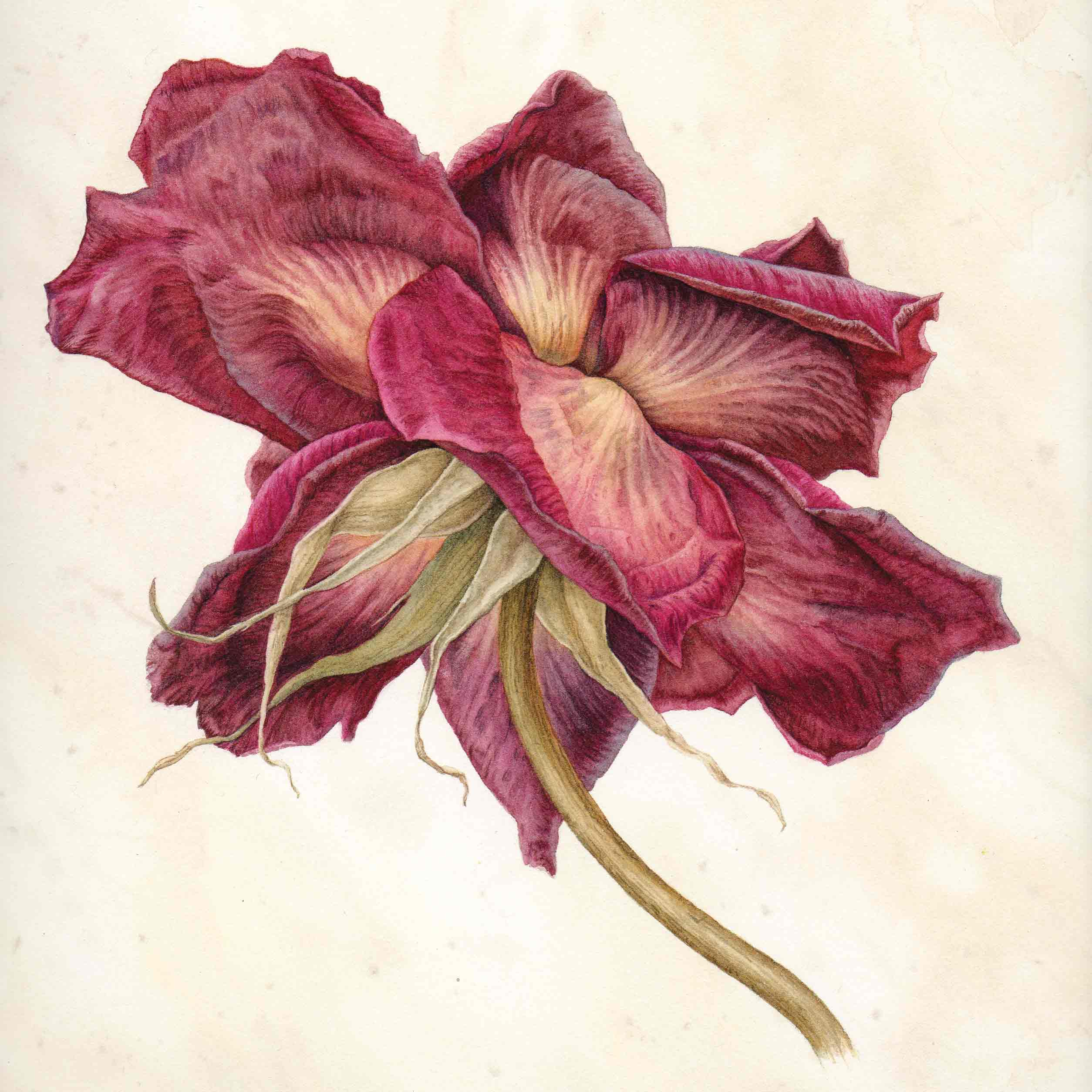 Art greeting card by Julia Trickey, The Last Rose, watercolour, close up of red rose