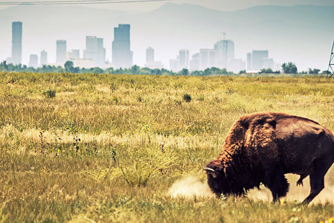 Denver Buffalo Grazing Skyline Wall Art High Quality Print Wall Art