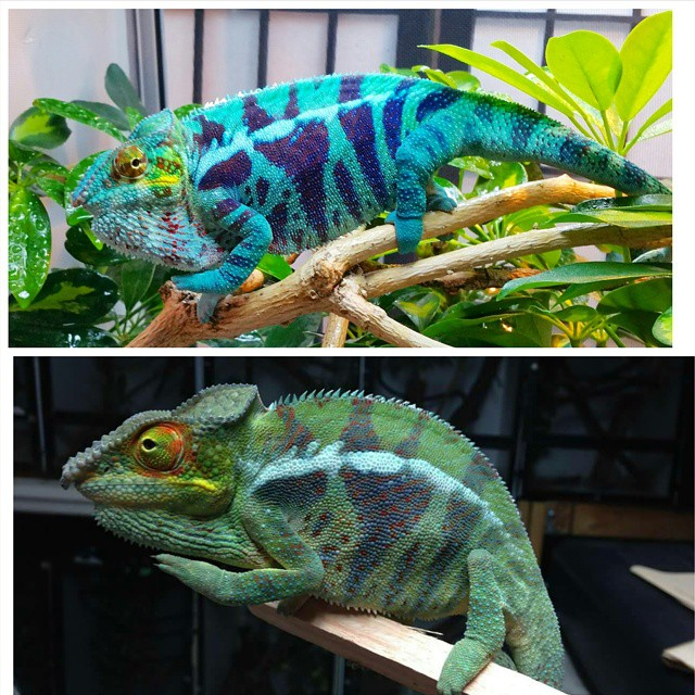 Wild Caught Chameleons Before and After
