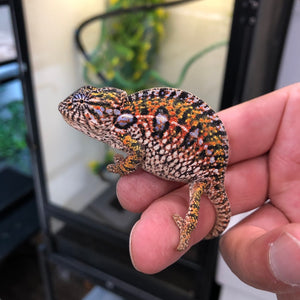WC Carpet Chameleons
