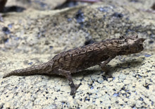 Load image into Gallery viewer, WC Brookesia Thieli