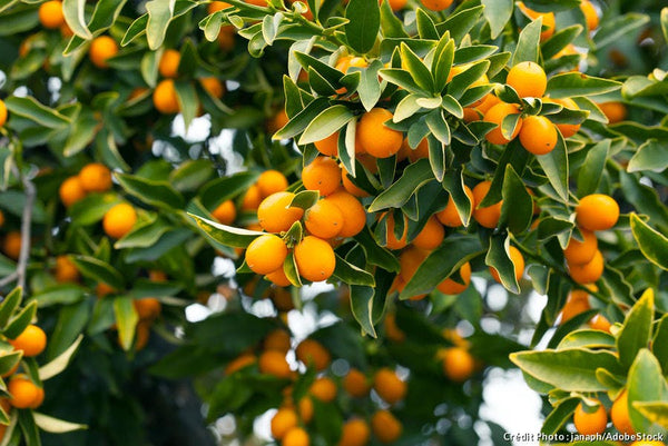 Let The Libation Season Begin -  Kumquat A Story Of Life On A Balcony