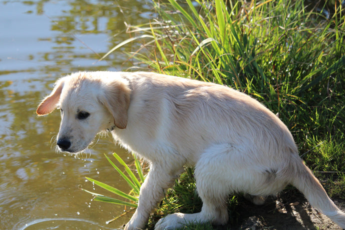 Dog Deaths Related to Toxic Blue-Green Algae