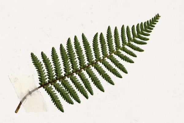 The Science of Nature - Ponga Fern - Cyathea cumingii